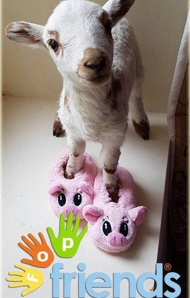 lamb wearing pink slippers